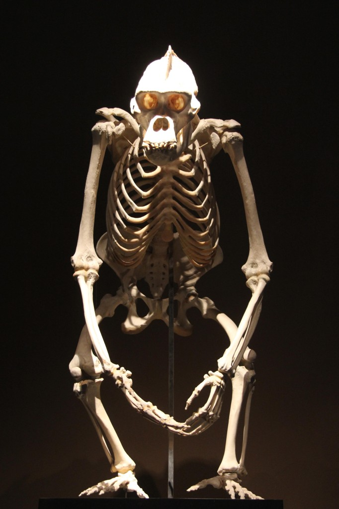An ape skeleton in the Evolution in Action exhibition at the Museum für Naturkunde (Natural History Museum) in Berlin