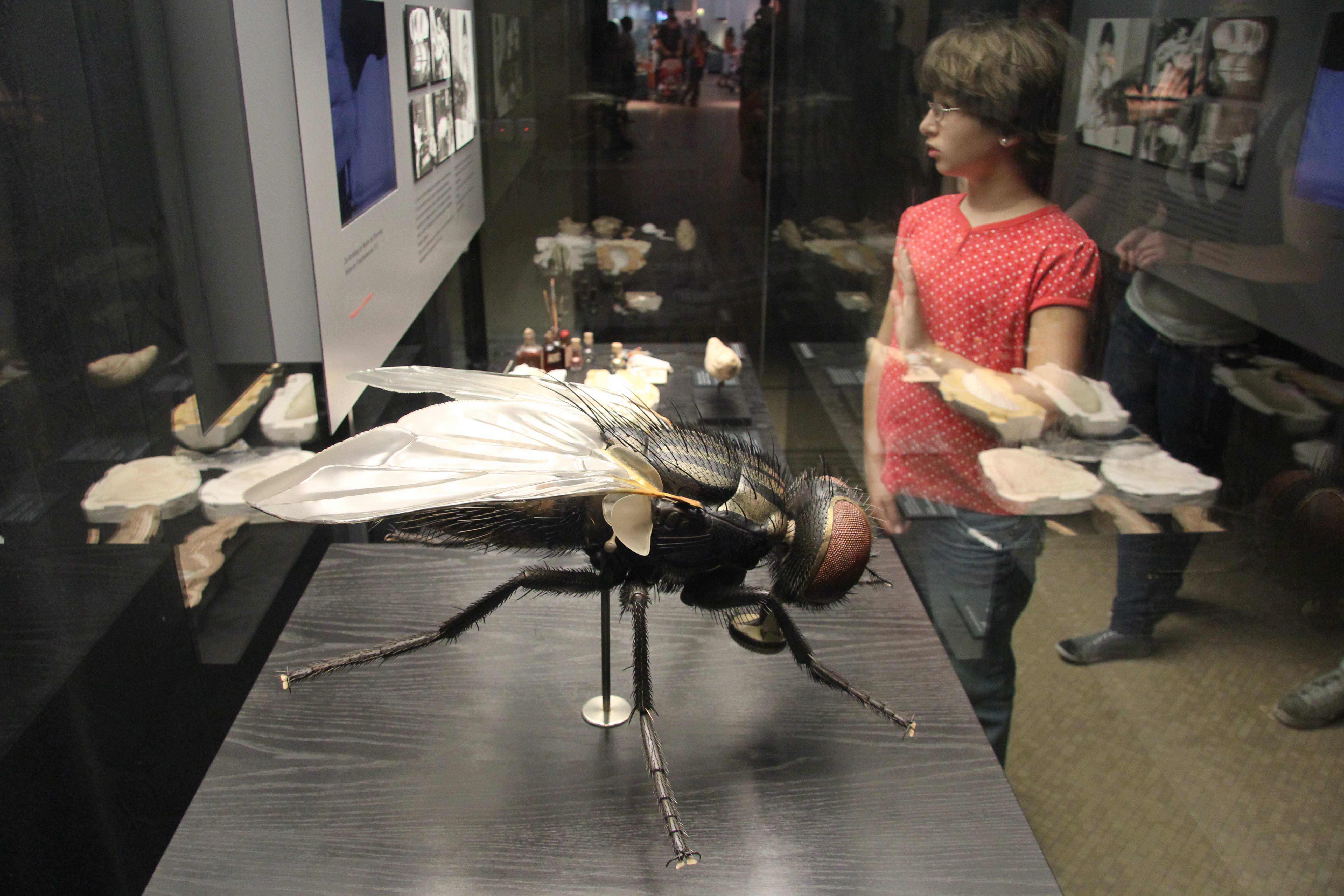 A model of a fly in the Keller's Models exhibition at the Museum für Naturkunde (Natural History Museum) in Berlin