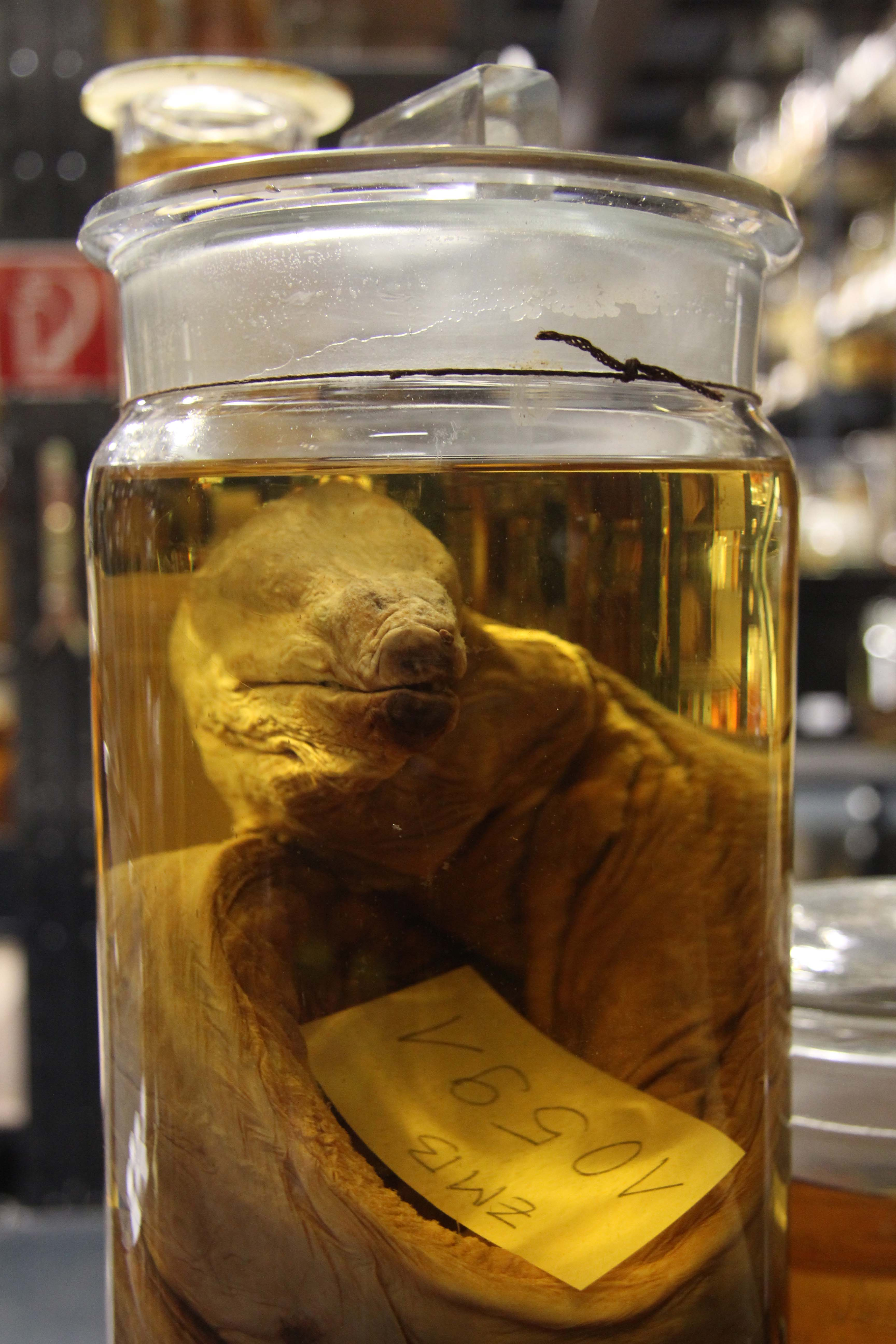 A sample in The Wet Collections at the Museum für Naturkunde (Natural History Museum) in Berlin