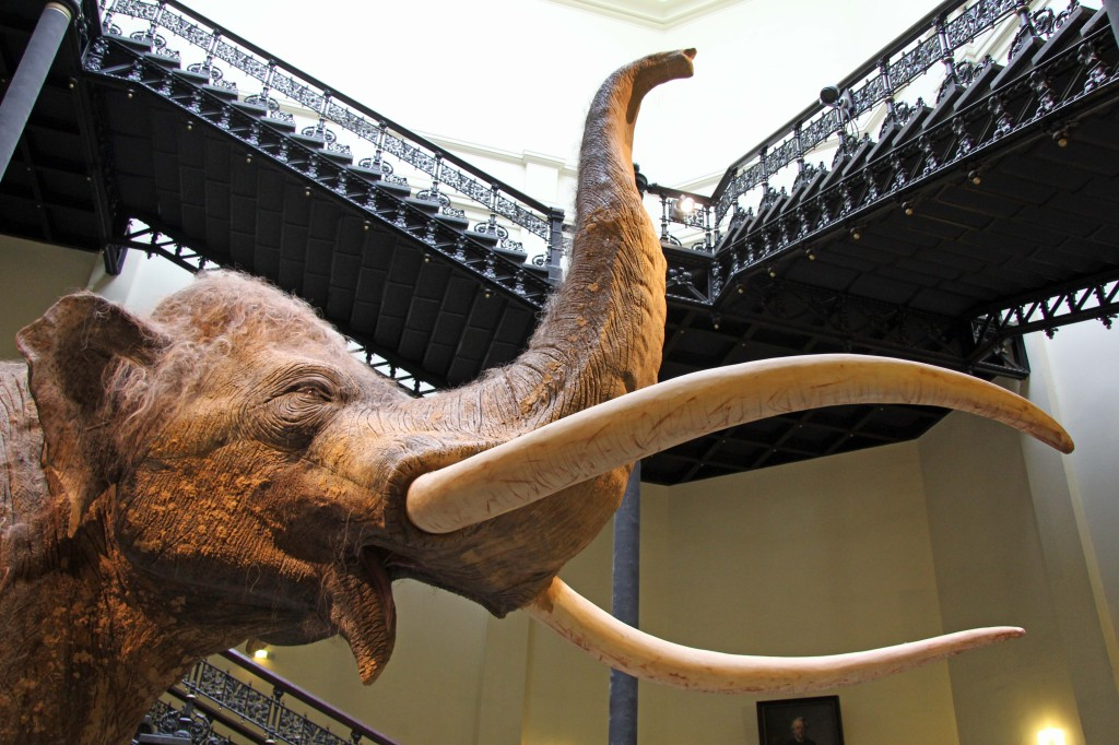 A headshot of a Straight-Tusked Elephant in the Elefantenreich – Eine Fossilwelt in Europa (Land of the Elephants – A Fossil World in Europe) exhibition at the Museum für Naturkunde (Natural History Museum) in Berlin