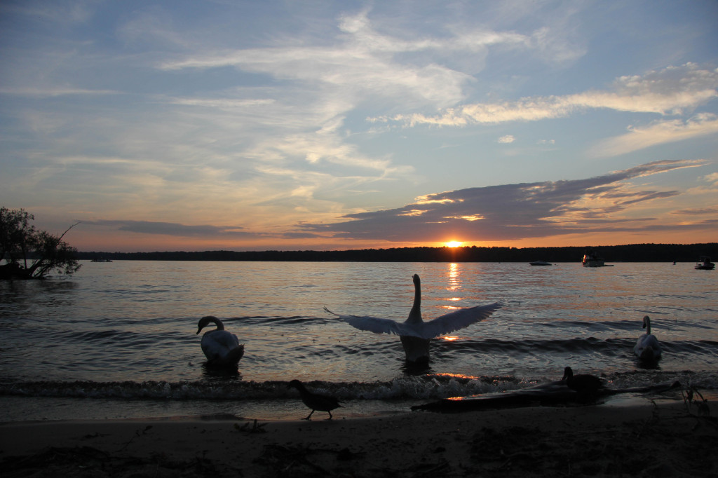 A swan shows off for the camera during the sunset over the lake at Wannsee in Berlin