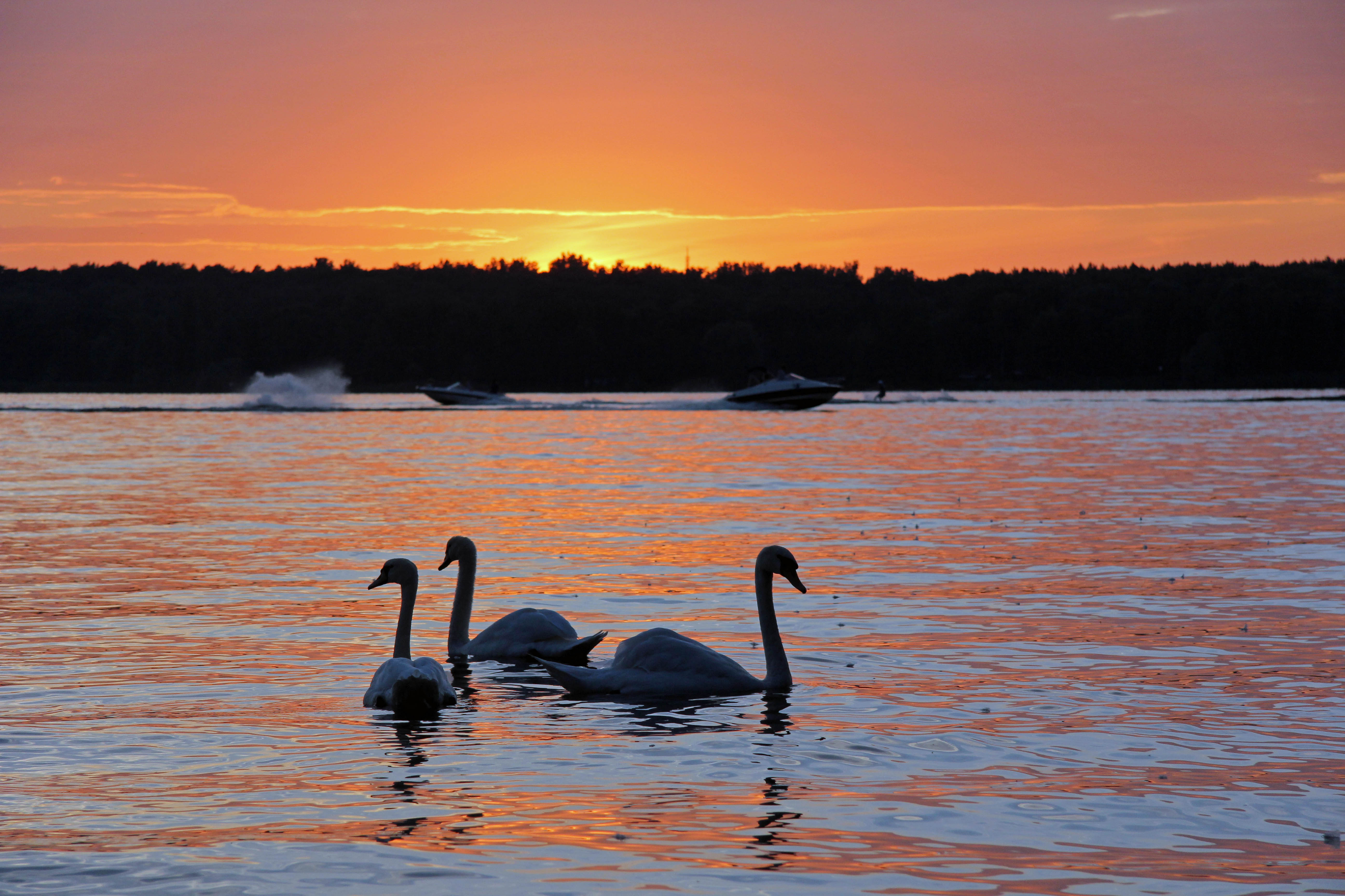 Waterskiers make the most of the day's last light and swans swim in the foreground during the sunset over the lake at Wannsee in Berlin