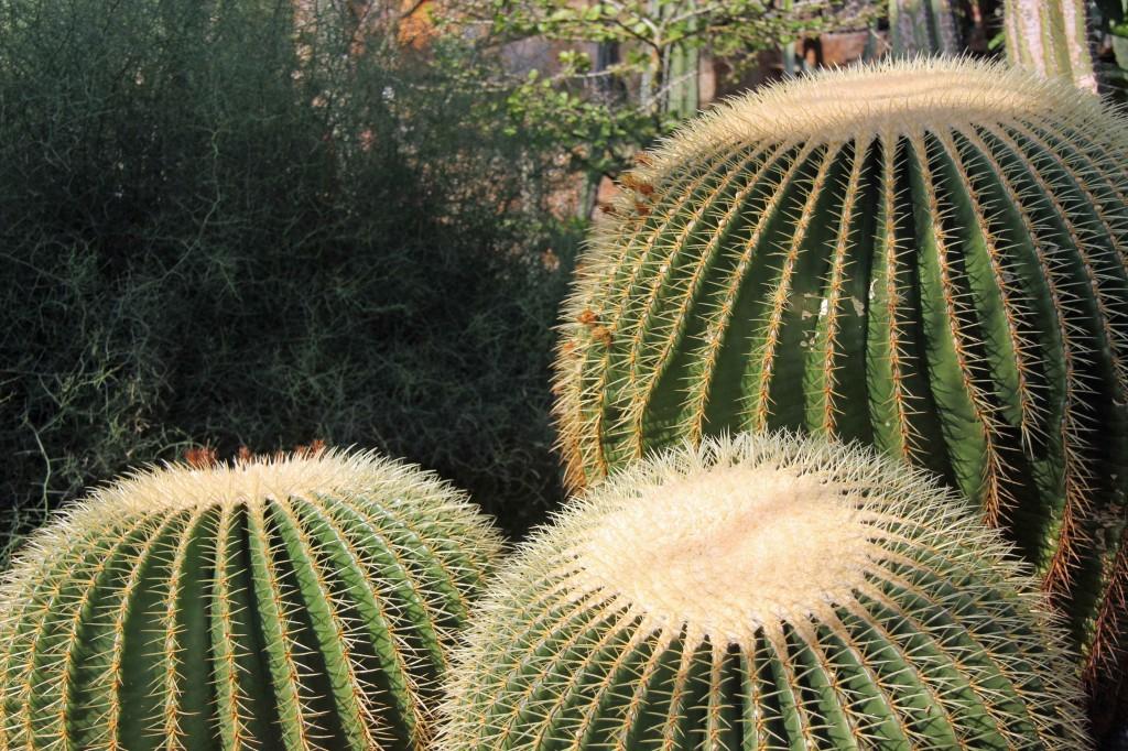 Cacti in the greenhouses at the Botanical Garden (Botanischer Garten) in Berlin