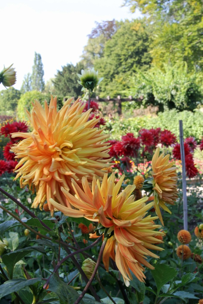 Dahlias at the Botanical Garden (Botanischer Garten) in Berlin