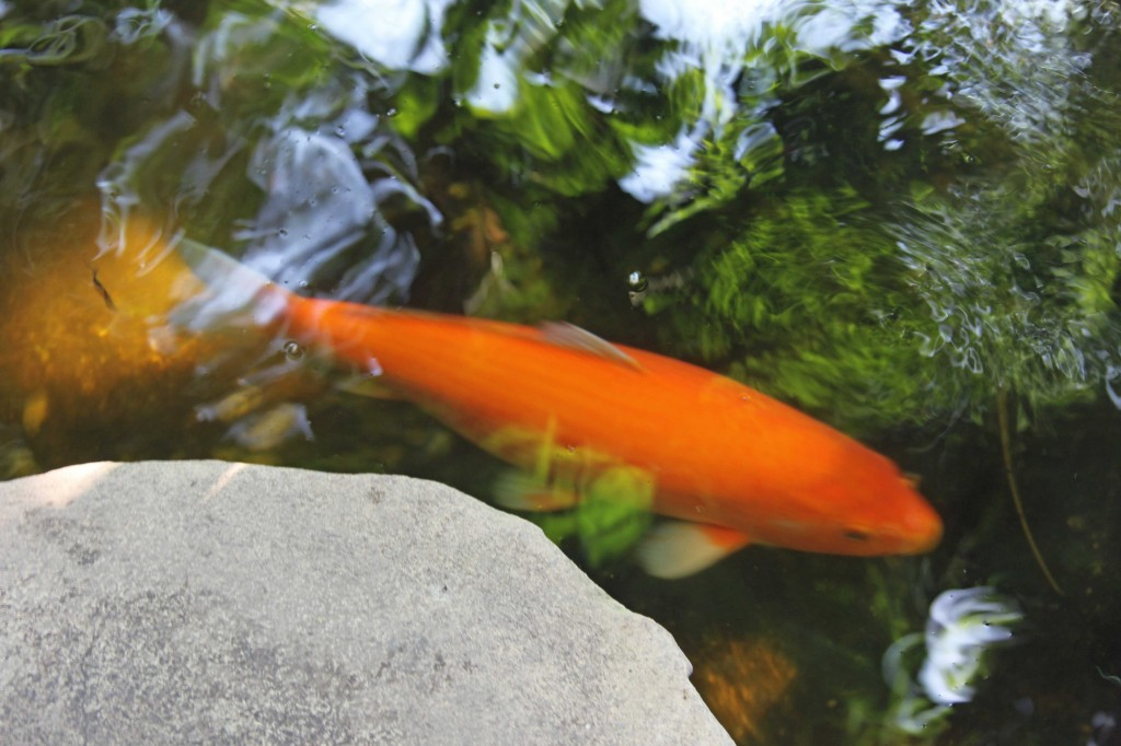 Koi Carp in the greenhouses at the Botanical Garden (Botanischer Garten) in Berlin