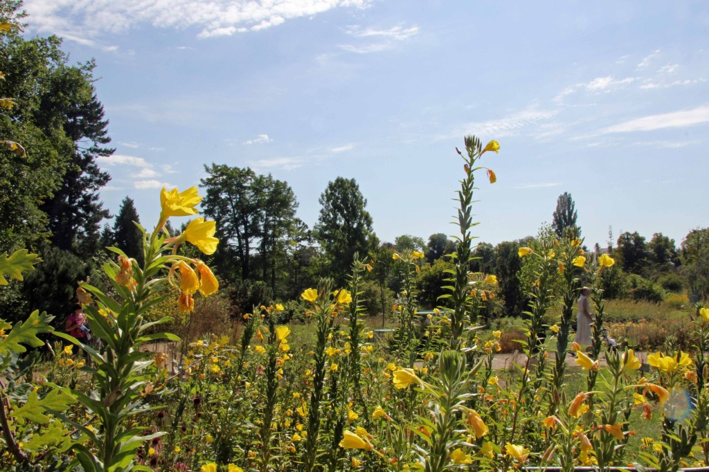 Meadow flowers at the Botanical Garden (Botanischer Garten) in Berlin