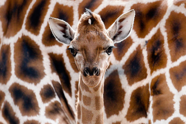 Eric the baby Giraffe at Berlin Tierpark