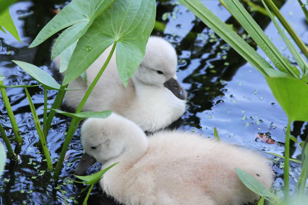 A Pair of Cygnets at Plötzensee - a lake in Wedding, Berlin