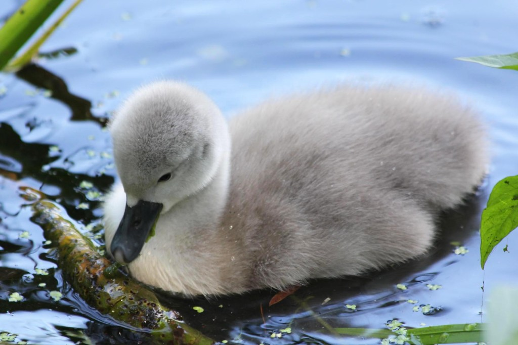 A Cygnet at Plötzensee - a lake in Wedding, Berlin