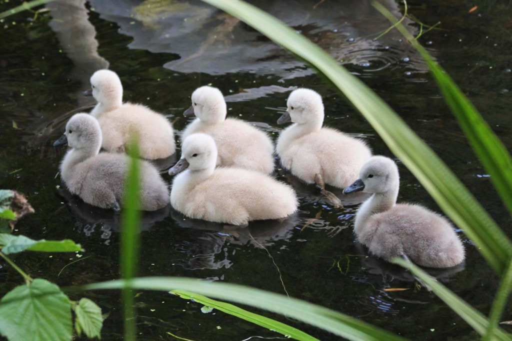 A group of cygnets at Plötzensee - a lake in Wedding, Berlin