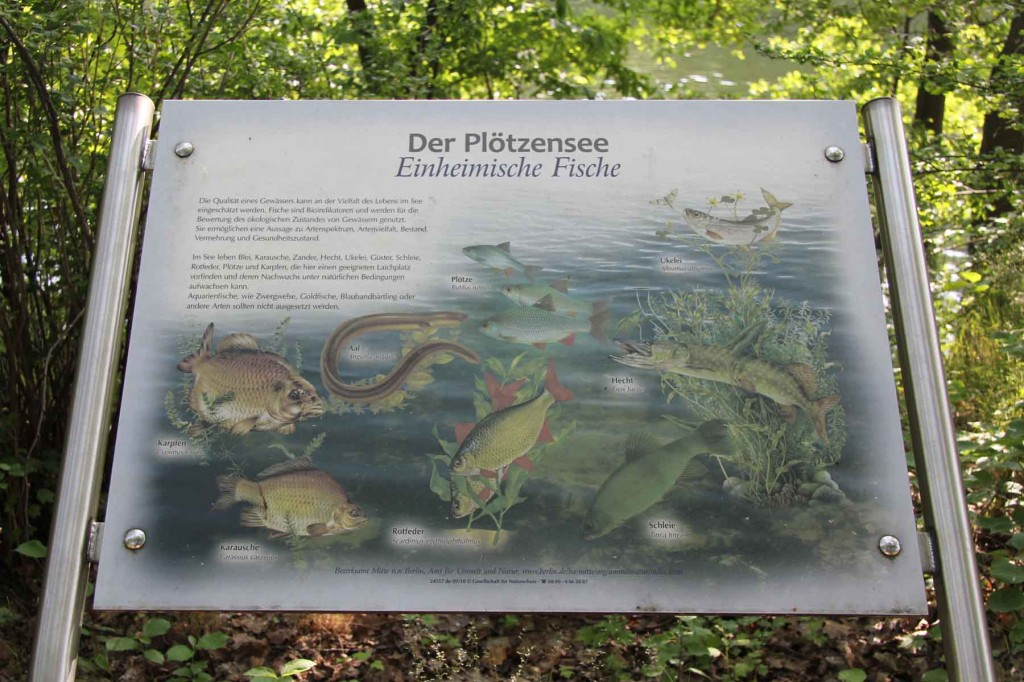 Information about the fish at Plötzensee - a lake in Wedding, Berlin