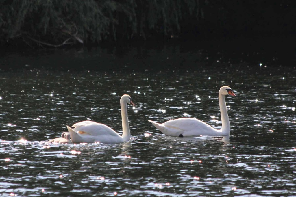 A family of swans at Plötzensee - a lake in Wedding, Berlin