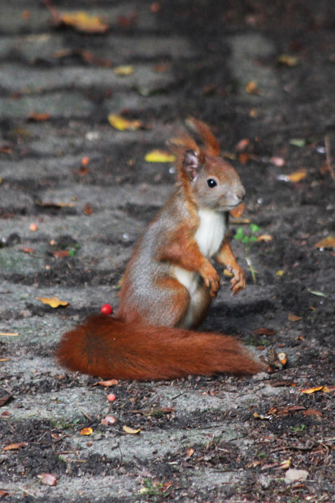 Squirrel at Gemeindepark Lankwitz in Berlin