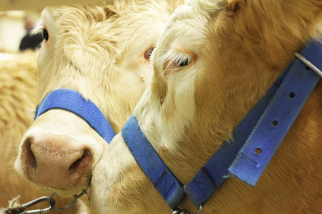 Cows at Grüne Woche Berlin