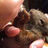 rp_Baby-Squirrel-Feeding-1024x682.jpg