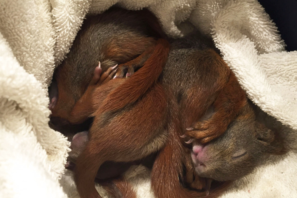 Four Baby Squirrels Sleeping